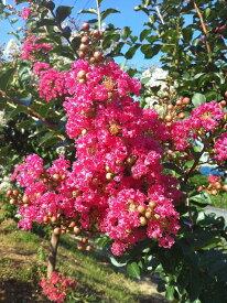 サルスベリ 苗 赤花サルスベリ ポット苗 庭木 落葉樹 シンボルツリー