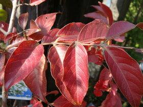 サルスベリ苗紫花サルスベリポット苗庭木落葉樹シンボルツリー