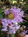 サルスベリ 苗 紫花サルスベリ ポット苗 庭木 落葉樹 シンボルツリー