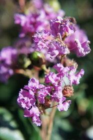 サルスベリ紫