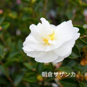 """サザンカ""""朝倉サザンカ"""""""