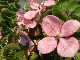 ヤマボウシ 赤花ヤマボウシ サトミ ポット苗 庭木 落葉樹 シンボルツリー 【観賞花木】