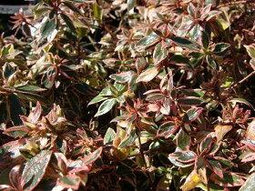 かわいい雰囲気の冬の斑入り葉