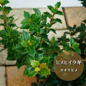 ヒメヒイラギ カオリヒメ 5号ポット苗 生垣 目隠し グランドカバー 低木 庭木 常緑樹
