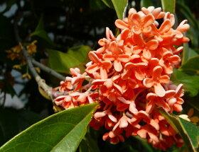 紅花モクセイ「フレグランスレッド」※写真はイメージです