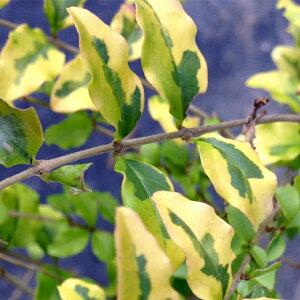 斑入りプリペット レモンライムアンドクリッパーズ H0.3m苗木 庭木 常緑樹 生垣 目隠し 庭木 常緑樹