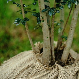 シマトネリコ(シンボルツリーに最適)