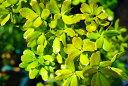 どんぐりの木 ウバメガシ1年生ポット苗 生垣 目隠し 庭木 常緑樹