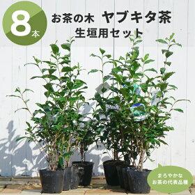ヤブキタ茶8本セット