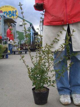 プリペットH:0.6m苗木