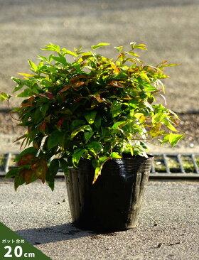 お多福南天(オタフクナンテン)ポット苗グランドカバー低木庭木常緑樹