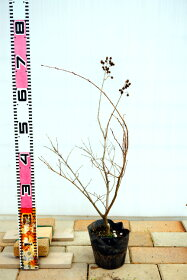 ポット苗(落葉期は葉っぱが付いておりません)