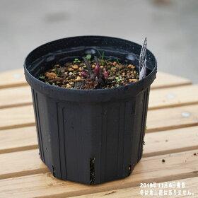 芍薬(シャクヤク)サラベルナール6号スリット鉢植え落葉樹グランドカバー低木