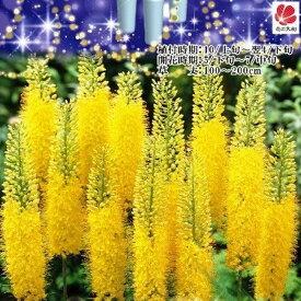 【ユリ 球根】 キャンドルリリー (エレムルス) 黄色 【1株入】 【予約販売9月下旬頃入荷予定】