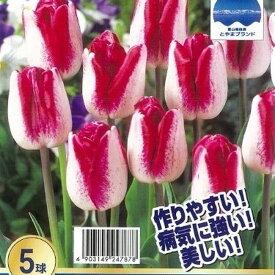 【チューリップ 球根】 富山産チューリップ 紫雲(しうん) 【5球入】