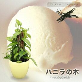 ■珍しい木■ バニラの木 3号ポット苗 (鉢カバー付き) バニラ バニラビーンズ 果樹 つる性 観葉植物