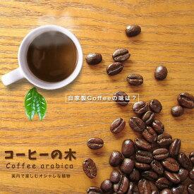 ■珍しい 観葉植物■コーヒーの木 (ブルーマウンテン)ポット苗 果樹苗木 果樹苗 観葉植物 coffee インテリアグリーン