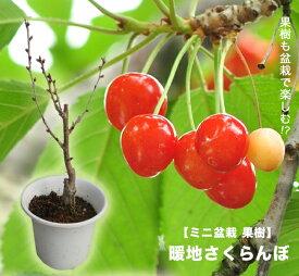 暖地さくらんぼ 白鉢苗 1本で実がなる。 今年収穫見込み