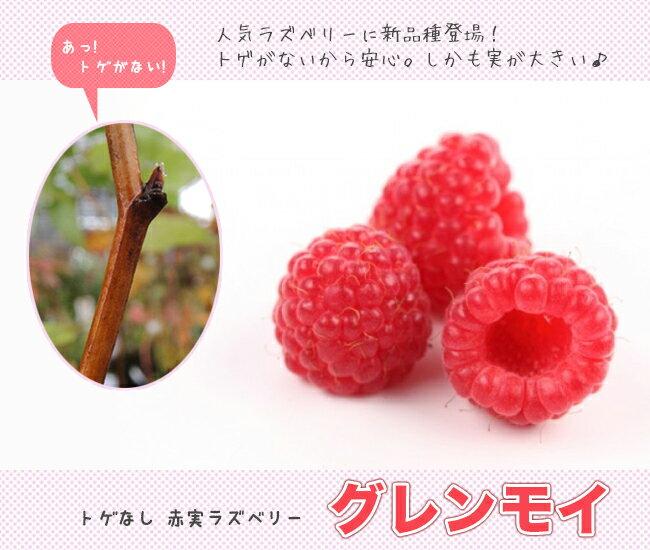 トゲなし ラズベリー グレンモイ 鉢苗 果樹苗木 果樹苗 キイチゴ 苗 強健 初心者おすすめ 新品種 果物