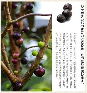 ■掘り出しもの■四季成りジャボチカバ3年生接ぎ木大苗果樹果樹苗木
