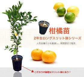 レモン苗レモンの木選抜トゲなしリスボンレモン2年生接ぎ木ロングスリット鉢苗