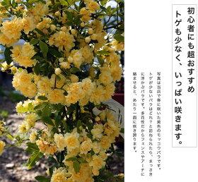 """オールド・ローズ/原種系""""黄八重モッコウバラ"""""""