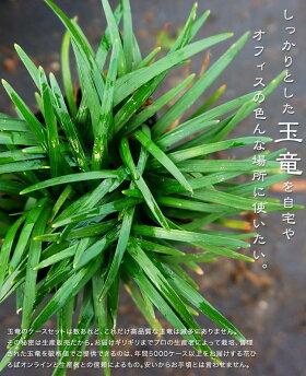 完全国内生産の花ひろばオンライン玉竜(タマリュウ)