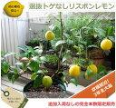 ■送料無料■レモンの木 トゲなしリスボンレモン ルートポーチ仕立て3年生 接ぎ木 大苗 果樹苗 果樹苗木 柑橘