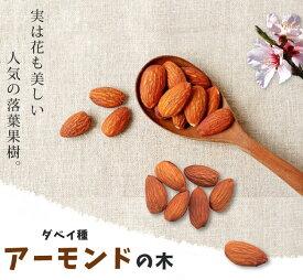 【アーモンド苗木】 1年生接ぎ木苗 果樹苗木