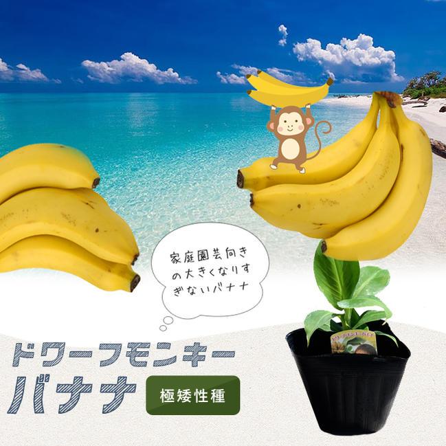 ■本数限定■矮性バナナ ドワーフモンキーバナナ ポット苗 果樹苗木 熱帯果樹
