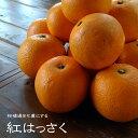 紅八朔 (べにはっさく) 2年生 接ぎ木 苗 柑橘苗 常緑樹 果樹 果樹苗