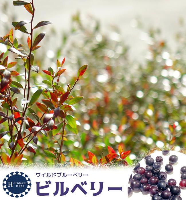 ■掘り出しもの■ブルーベリー 苗木 ワイルドブルーベリー ビルベリー 根巻き大苗 ブルーベリー苗 blueberry