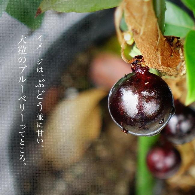 ■掘り出しもの■四季成り ジャボチカバ 3年生接ぎ木大苗 果樹 果樹苗木
