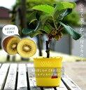 ■掘り出しもの■ キウイ 苗木 スーパーゴールド (メス) 実付き 鉢植え 接ぎ木 苗 果樹 果樹苗木