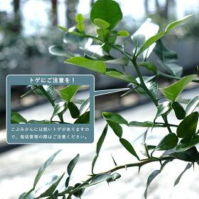 みかん苗木こぶみかん(バイマックルー)7号鉢植えコブミカン観葉植物果樹果樹苗木