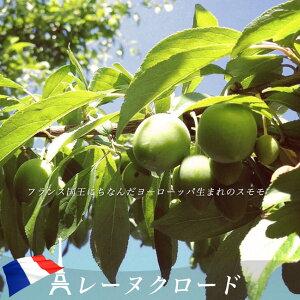 プラム・すもも 【レーヌクロード】 2年生接木 苗木 ロングスリット 鉢植え