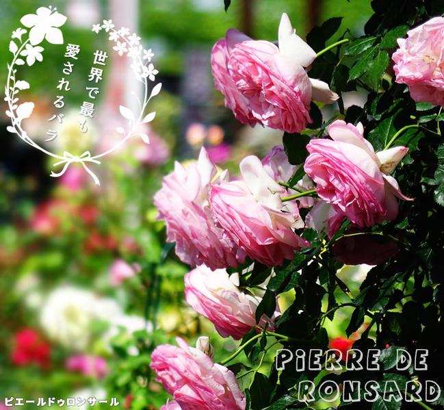 【バラ苗】 ピエールドゥロンサール 7号スリット大苗 バラ苗木 つるバラ 国産苗