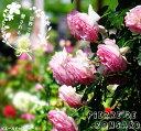 【バラ苗】 ピエールドゥロンサール 大苗 バラ苗木 つるバラ 国産苗