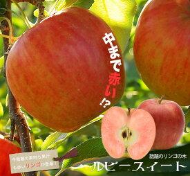 りんご 苗木 ルビースイート 1年生 接ぎ木 苗 果樹 果樹苗木 リンゴ