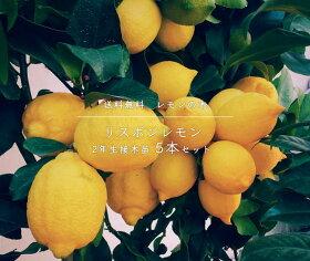 """レモンの木""""リスボンレモン""""5本セット"""