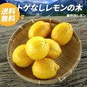 送料無料 レモンの木 トゲなしレモン 瀬戸内レモン (道谷系ビアフランカ) 鉢植え 苗 果樹苗 柑橘