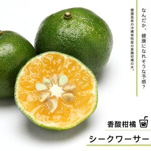 シークワーサー 2年生 接ぎ木 ロングスリット鉢苗 ■限定販売■