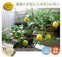 送料無料 レモンの木選抜 トゲなしリスボンレモン 鉢植え 苗 果樹 果樹苗