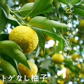 【トゲなし柚子 (とげなしゆず)】 1年生 接ぎ木 苗木