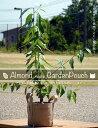 ■限定販売■ アーモンド on ガーデンポーチ 2年生 接ぎ木 苗 果樹苗木 果樹苗