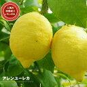レモンの木アレンユーレカレモン2年生 接ぎ木 苗木6号スリット鉢植え又は角鉢植え