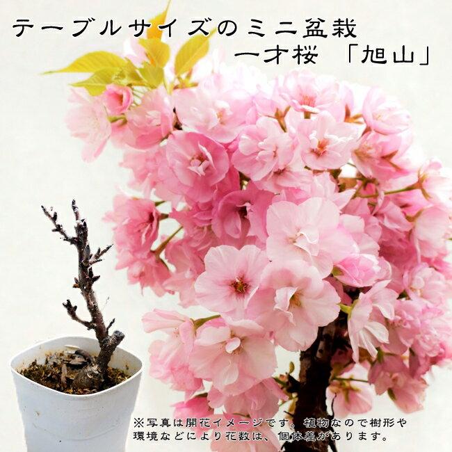 【ミニ盆栽 さくら】一才桜 旭山 (アサヒヤマ) 落葉樹 サクラ 苗 ギフト 贈り物 【数量限定販売】