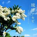 琉球アセビ 根巻き苗 低木 低木 庭木 常緑樹