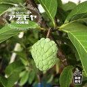アテモヤ ポット大苗 沖縄県産 熱帯果樹