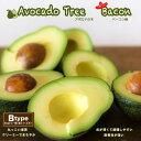 【ベーコン種】 アボカド 1年生 接木苗 森のバター